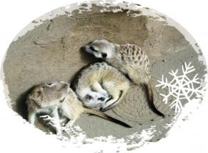 meerkat-01