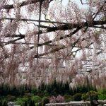 でっかい藤棚~芝桜の丘 花・花・花!