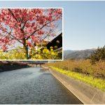 河津桜と菜の花と海!